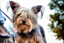 Brown Yorkie Dog After Some Food