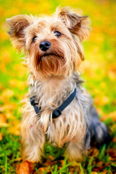 at-what-age-is-a-yorkie-full-grown
