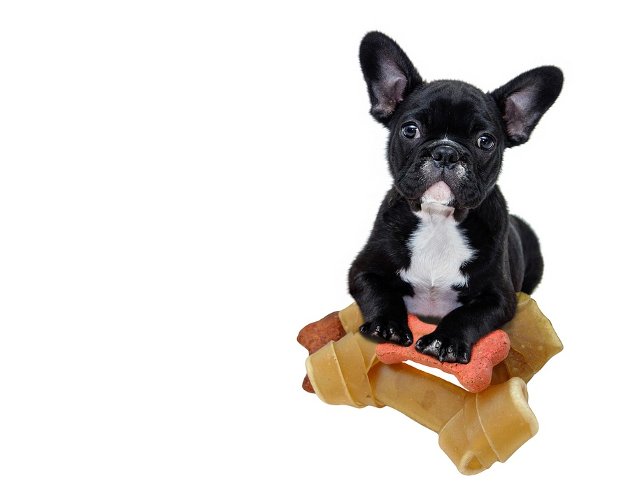 French Bulldog with treats