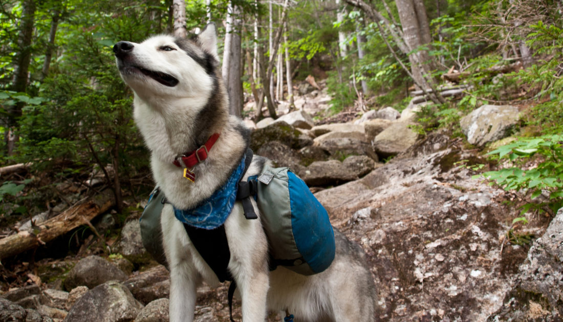 10 Best Dog Backpacks in 2020