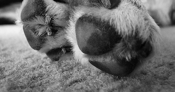 dogs-feet-showing-the-nails