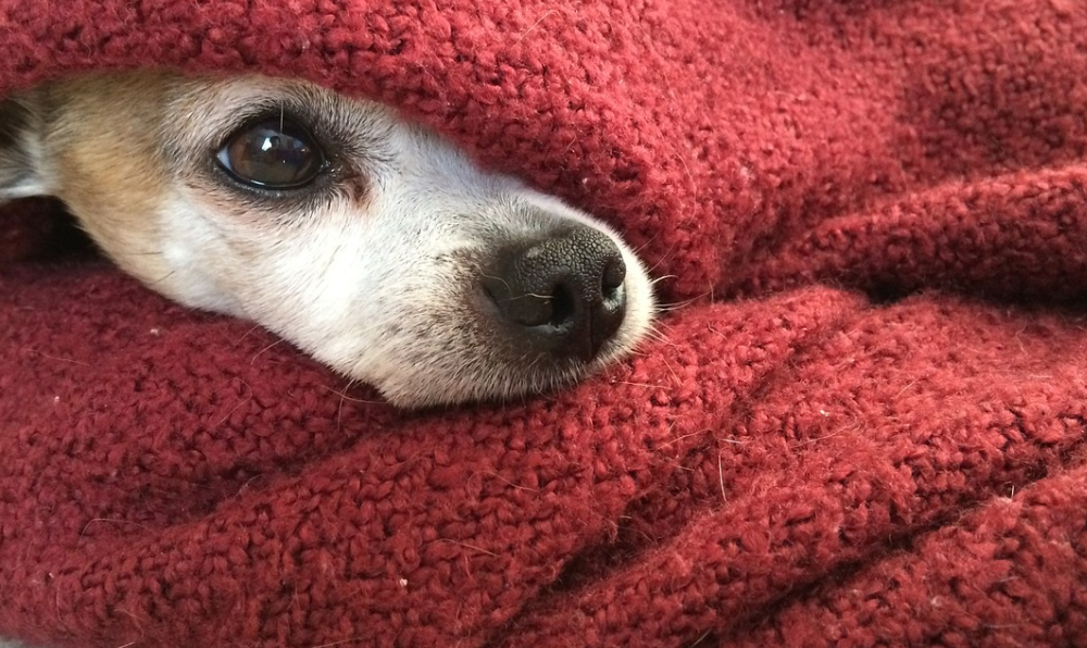 tiny-dog-hiding-beneath-a-red-blanket