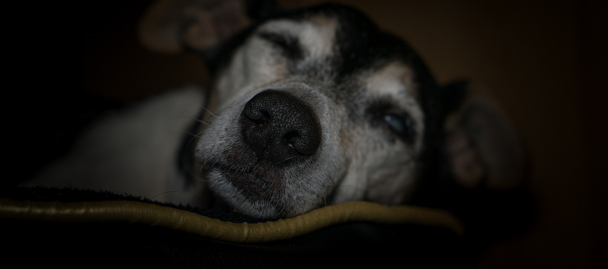 Old dog with glaucoma sleeping