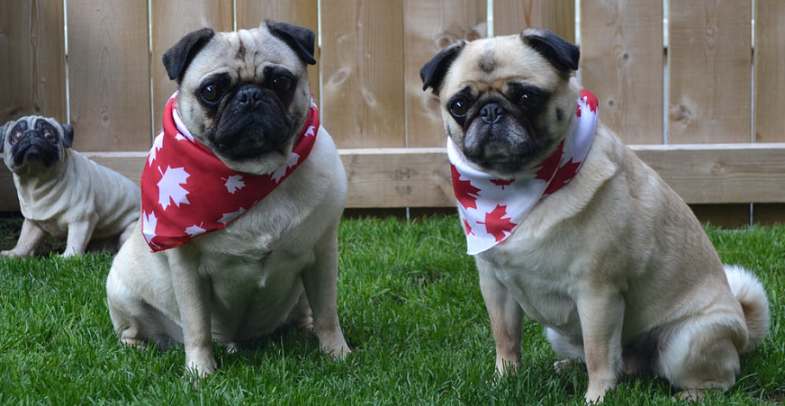 pugs wearing scarfs of the canadian flag pattern