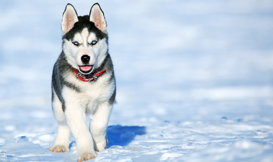 siberian husky pup walking in the snow