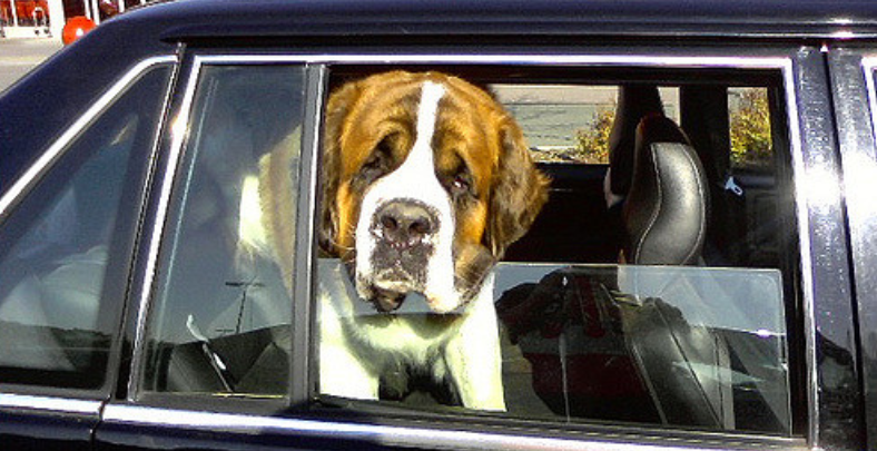 st bernard dog inside the car looking out