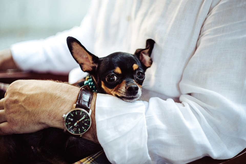 Small Dog Breeds: Chihuahua