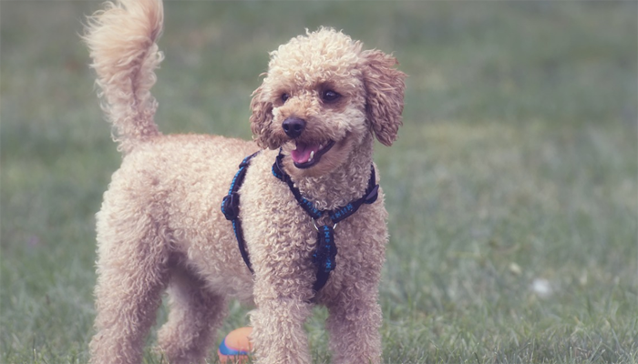 5 Best Poodles Mixes In 2019 Mixed Breeds Treehousepuppies