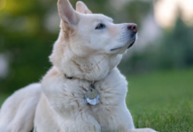 White dog with tag name