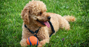 Young poodle playing ball