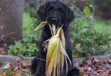 Black Dog biting corn plants