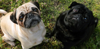 Black and Brown Pugs