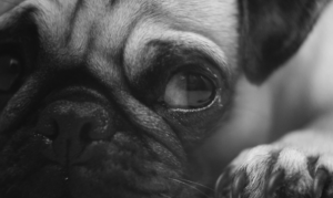 Close up pug photo
