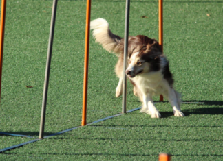 Dog agility obtsacles