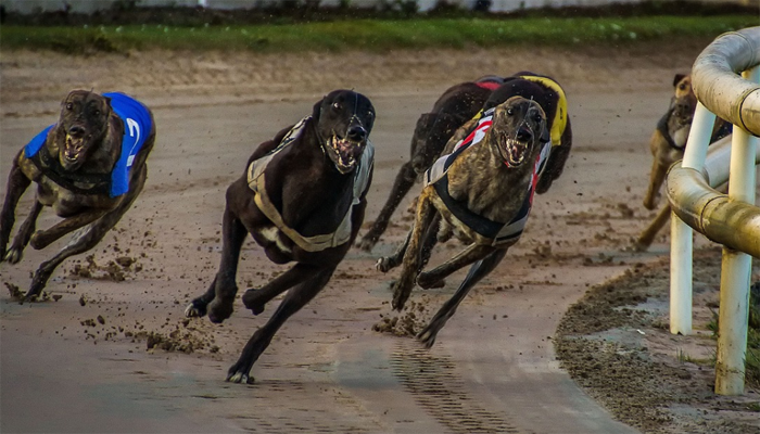 Unethical? The Truth About Greyhound Racing