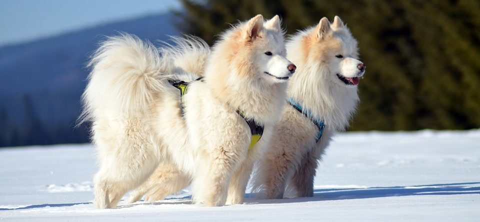 Different Breeds for Dog Sledding