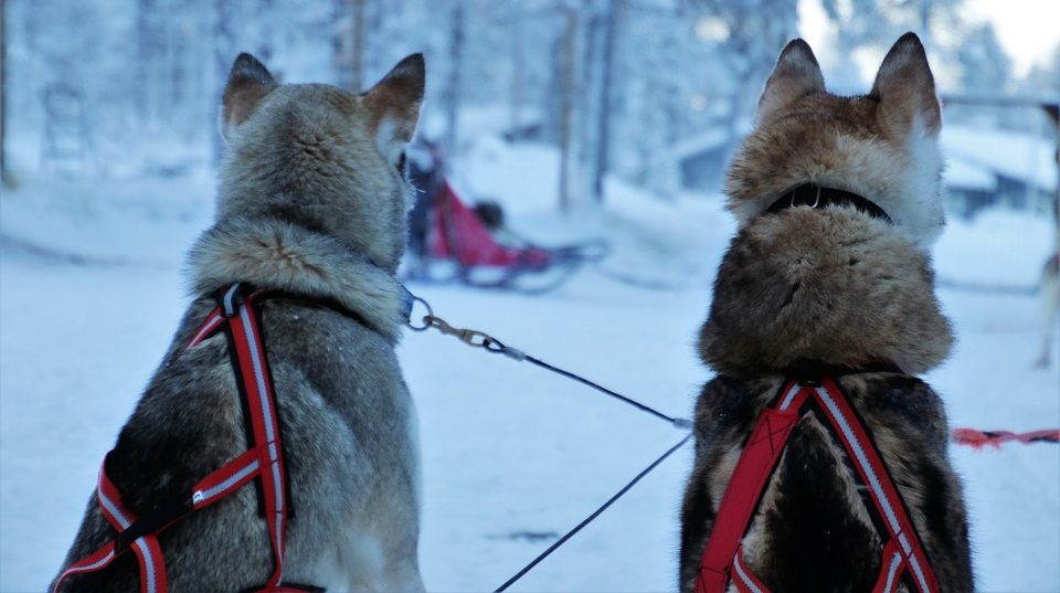 Huskies in Lappland