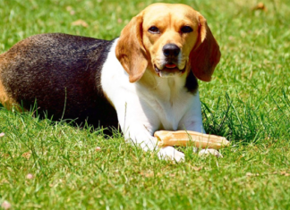 Beagle dog on a grassy field