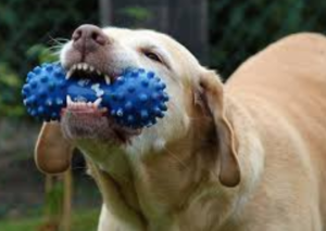 Dog biting a blue toy