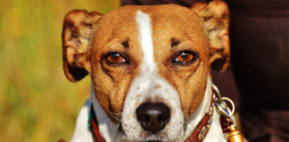 Old Jack Russell Dog