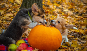 Two Welsh Corgi Playing