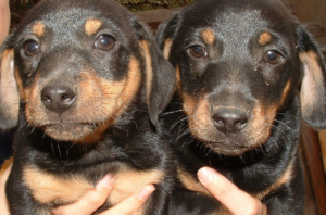 Two dachshund puppies