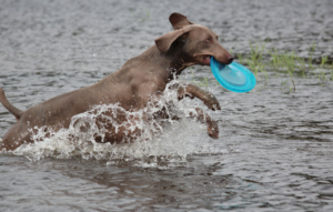 Weimaraner catching toy disc on the river