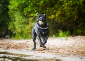 Activities for Cane Corsos