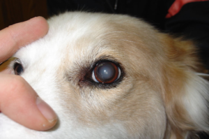 Dog Eye Check Up