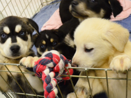 Puppies on a playpen