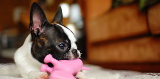 Boston Terrier with Dog Toy