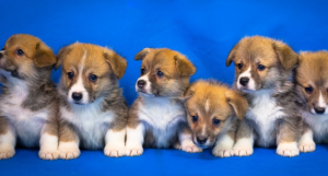 6 Corgi Puppies