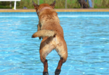 Dog diving on a pool