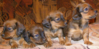 Four Dachshund puppies