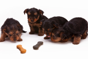Four Yorkie Puppies