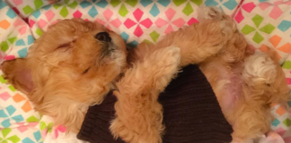 Maltipoo Puppy sleeping