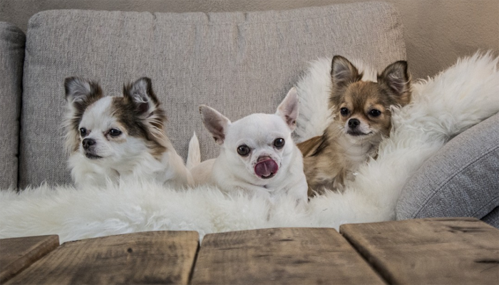 Three Chihuahua dog on a sofa