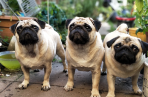 Three Pug Dogs