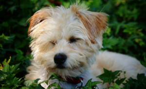 White Yorkshire Terrier Dog