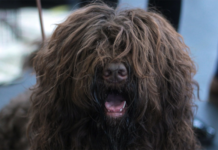 Hairy black dog