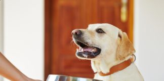 Hungry labrador with dog bowl is waiting for feeding.
